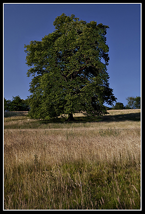 Leeds_Castle_Tree.jpg